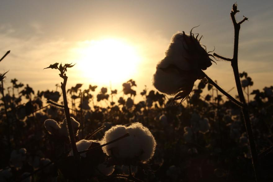 Immagine al tramonto di campi di cotone