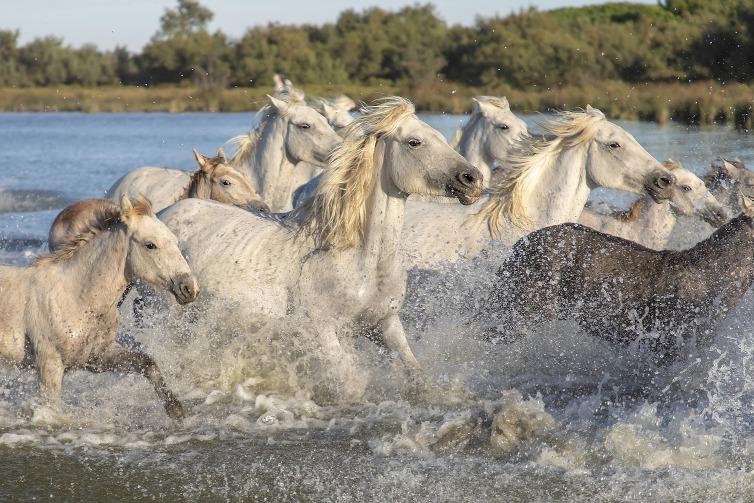 Immagine di cavalli liberi nella Camargue